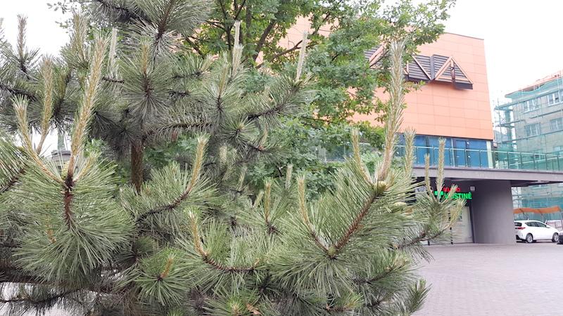 Любители хвойных, что это за дерево и какая его разновидность?