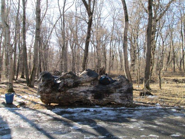В парке много кусков огромных деревьев