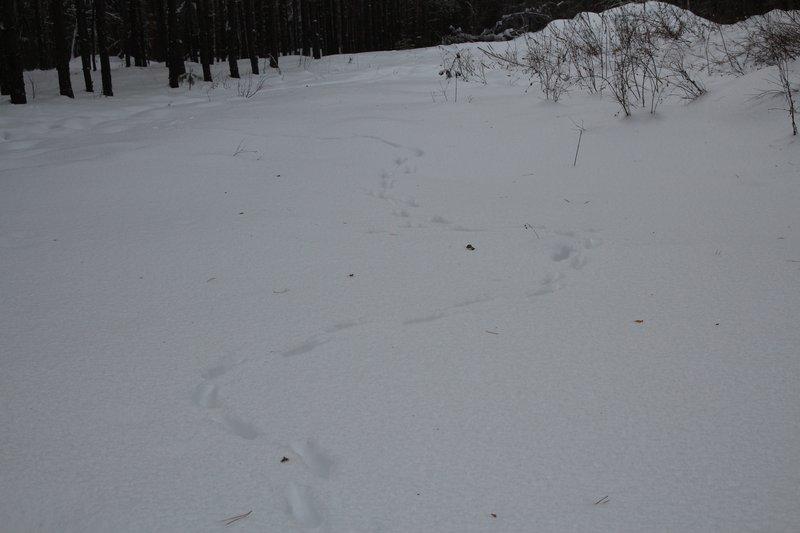 Тут бежала лиса