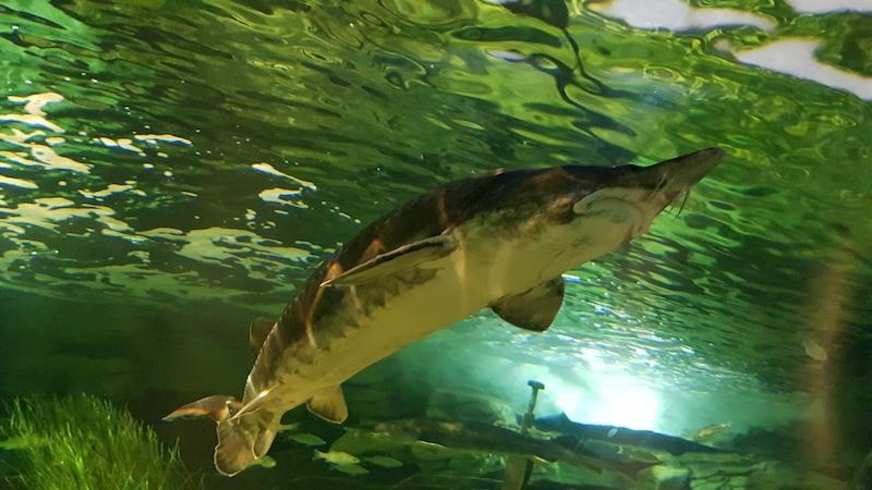 Рыбка на фото - метра полтора длиной