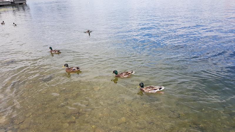 В озере кристально чистая вода, много уток